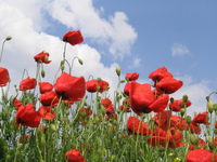 red-flowers-1372200