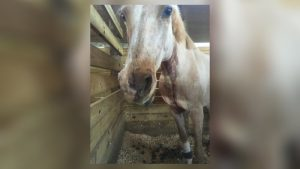 pitbullhorse-300x169